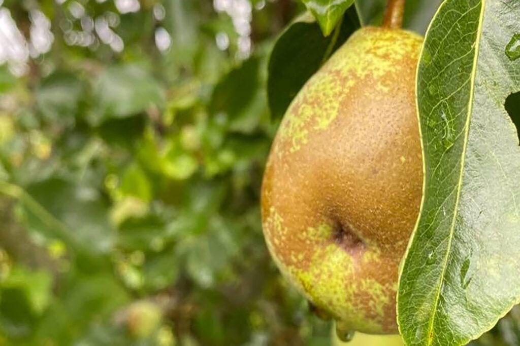 Dorset Pears