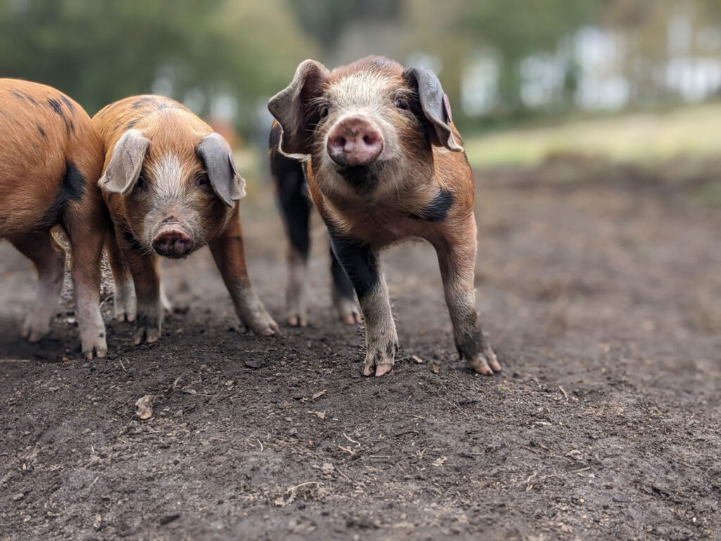 Happy piglets in Purbeck